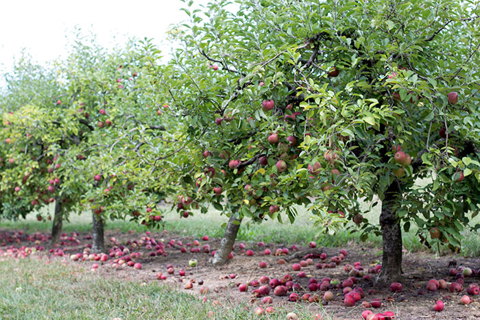 manzanas02